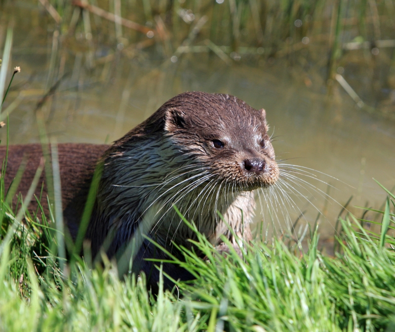 otter in pembrokeshire
